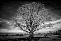 Oak tree in spring, B&W