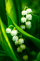 Lily-of-the-Valley_