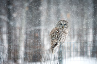 Barred Owl in snow fall 1