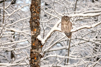 Barred Owl on snowy tree
