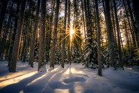 Sunburst amongst tall pine trees