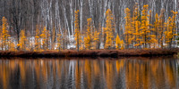 Tamarack trees with reflections, panorama