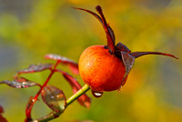 Rose Hip w. drop