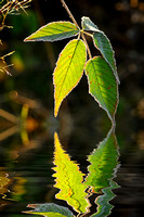 Raspberry leaf, reflection