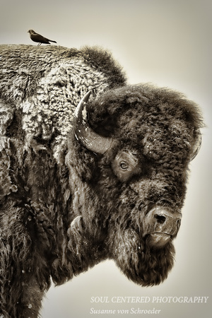 Bison w. bird, BW