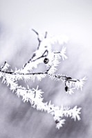 Alder branch with hoarfrost