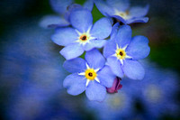 Forget-me-not, tex