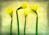Daffodil Still Life, four