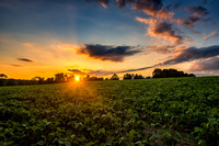 Sunset over soybean fiels