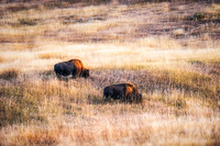 Two bisons in evening light