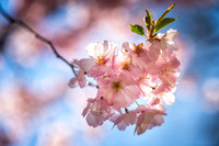 Cherry blossom, close-up 1