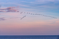Group of geese at sunset
