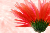 Gerbera high key2 text