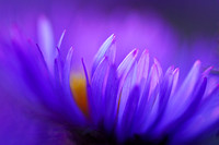 Aster Whispers
