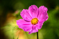 Cosmos, pink