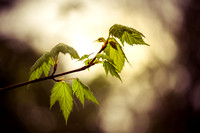 Young Maple leaves 2