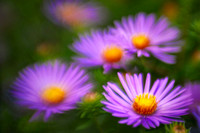 Asters lavender