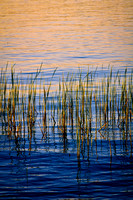 Reeds in evening light
