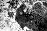 Big Bison, close up