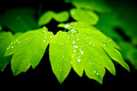 Green Spring Leaf with drop