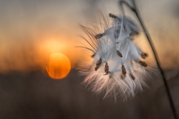 Milkweed at sunrise
