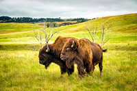 A lovely bison pair