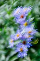 Aster, blue, overlay 2