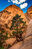 Tall Pine tree in canyon