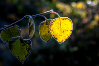 Frosted heart shaped leaf