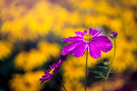 Cosmos Pink with yellow background