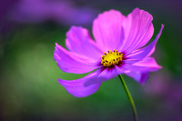 Cosmos, pink 4