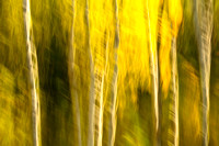 Black Hills, tree trunks, abstract