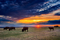 A group of bisons at sunset 2