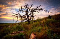 Dead Oak tree at sunset
