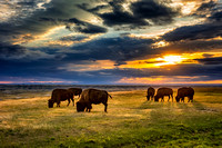 A group of bison at sunset 1