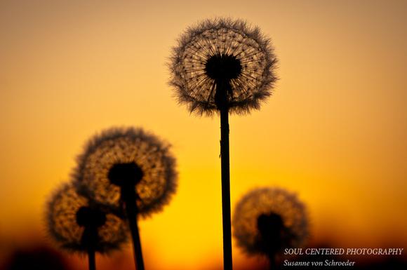 dandelion sunset related keywords - photo #41
